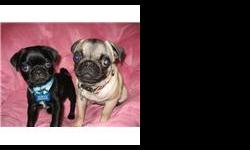 SUPER CUTE PUG PUPPIES. 9 wks old, 2 males, 1 female, Pure Bred, Black & Fawn Color, 1 round of shots. Super Cute & Great with Kids. $300 adoption fee. (818) 290-4995 OR (818) 799-1607
