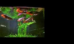 Arowana's fihes for sale, We have available Grade 1 Asian Red, Super Red, Chili Red, RTG, Golden X Back and many others. They are all well fed and will come along with all papers including CITES, Quality and healthy +A Grade, We give them out on an