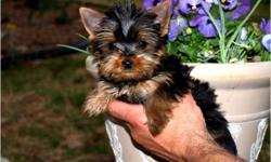 Ages: 2 Months Weight: 8 to 10 Ounces Color: Black & Gold Shipping: Available We specialize in Tiny Teacup, Teacup and Toy Puppies. All puppies are pre-trained with the crate training method. Written Money Back Size Guaranteed & Lifetime Pet Replacement