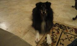 I have one sweet, loving black sheltie that I cannot keep because I'm moving. He weighs about 40 lbs. andis about 9 years old and very laid back. He doesn't mind children or anyone else as long as their petting him and giving him