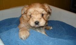 I am taking deposits on a Morkie (Yorkie X Maltese) litter of 3 females. They are brown and tan and will mature around 6 to 8 lbs. They will be ready for their new homes on March 21st. They will have 2 puppy shot and wormings. Please call 701-228-2425
