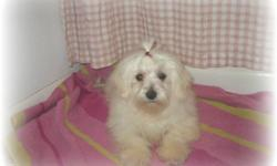 Adorable Maltese Female, 5 months old. She will be around 8 pounds grown. White with tremendous solid black points. Crate trained and housebreaking started. Asking price reflects CKC registration and a spay/neuter agreement and health guarantee. Full AKC