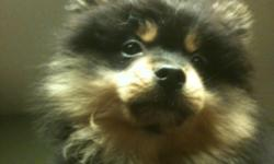 My wife and I realized that we work too long of hours and are not able to give this little guy all of the attention he deserves. He is a 14 week old playful and sweet Black and Tan Pomeranian puppy. He is a CKC certified (has the paperwork but needs to be