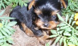 T-Cup yorkie eight weeks up to date on shots and wormings. Going in and out doggie door . CKC registered. Will weigh about three pounds. We just have one left. His price is $800. We also have toy yorkies will be ready in three weeks. They will weigh about