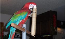 Talking Green Macaws Parrot,Female. 8 months old, very friendly, great vocabulary. Amazing colour. Perfect health and feathers,Fully Tame and very friendly with kids. Talks like storm. email me at kristyperez52@yahoo.com