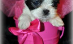 I have a lil tea cup Shih Tzu Puppy female she will be no bigger then 5 lbs with short legs and short back AKC. She will be ready to go to her forever home on the first week of july if your are interested we are now taking deposits for more info please