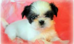 I have a lil tea cup Shih Tzu Puppy female she will be no bigger then 5 lbs with short legs and short back She will be ready to go to her forever home on the first week of july if your are interested and want more info please call me or txts at 6613765278