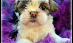 I have a lil tea cup shih tzu puppy female red and white 9 weeks old will be no bigger then 5 t 6 lbs with short legs and short back she has such a cuddly personality, and loves attention she is potty trainied. She is ready for her forever home she is 9