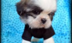 lil tea cup shih tzu puppy Male 9 weeks old will be no bigger then 5 lbs with short legs and short back he has such a cuddly personality, he is potty trainied. he is ready for his forever home. He has been checked by the vet and comes with his first set