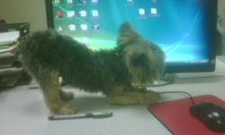 2 yr old Tea Cup Yorkie with papers. Diva weighs almost 3 pounds. Very Friendly, lovable dog. I will be deploying soon so I can't take care of her.