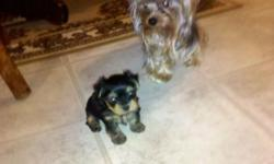 xtra tiny Tea Cup Yorkie puppies.1 male 1 female left.mom and dad 3-4 libs.These babies are just beautiful and so sweet.First shots and going on pee pads.I am not a breeder.I haved give them lots of attention. 7 wks old.Call for more info 478-957-2196