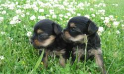 I have boy and a girl Yorkie puppies. they were born 5-21-11 Will be ready to go July 16th when they are 8 weeks old. Their tails are docked. These puppies are supper tiny mom is 4 pounds and their dad is 5 pounds. Both parents are AKC registered. I think