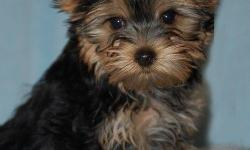 Tea Cup Yorkie Puppy For Adoption . Potty trained female Yorkie puppy for adoption . the puppy loves playing with kids and will becoming along with all her shots well dewormed. contact me for more info through my email.