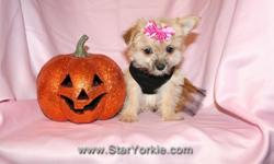 With over 9 years of experience, the Star Yorkie Kennel brings you the best selection of teacup puppies and assures you will be happy with your new baby. Visit our website www.StarYorkie.com now to see pictures and info for all available puppies. All of
