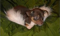 Teacup and Toy Chihuahua Puppies For Sale in South Florida. Located in Broward County near Fort Lauderdale, Weston and miami areas. Both longhair and shorthair Chihuahua puppies available. Our Tcup and toy Chihuahua puppies for sale have all puppy