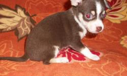 Teacup And Toy Chihuahua Puppies For Sale Florida. GREAT PRICES FROM JUST $299! Our Teacups and toy Chihuahuas for sale have all shots/dewormings up to date, health certificate, papers, pedigree and come with a FREE vet visit. Call (954)-452-8588 and