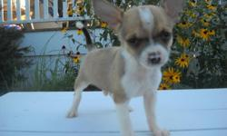 Gizmo, male chihuahua (born 6/30/11).white and brown markings.super tiny runt of the litter. ears are already perked.he is super playful and is always right behind me as a tiny shadow. i have both of his parents on site.i am located in Freeland MI, if