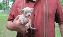 WE have Toy and Teacup Size 8 week old chihuahua puppies. Colors are Cream, Chocolate Brown and Blue. Call Greg ASAP for more infoormation () -. Website Photo's:  http://toydog4sale.tripod.com
