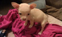 Very tiny Chihuahua puppies one female and one male, I need to find them a loving home right away call or text 214 991 2761 serious inquiries only. Thanks for looking