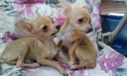 Adorable 5 mos old blonde short hair Chi, just hit 2 lbs! Has all puppy shots, etc.