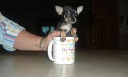Adorable Teacup Chihuahuas that have their First Shots - Wormed twice - Have Appleheads - Very Healthy - Love to play or lay in your lap. Great for Apartments or Small house. The Black and tan and Chocolate and Tan puppies are loving always what to be