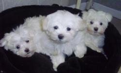 ADORABLE micro- teacup maltese puppy, 12 weeks old, ACA registered, all shots and worming up to date, he comes with a health guarantee as well. I have one tiny male available, he is snow white with black points and will only be about 3-4lbs full grown,