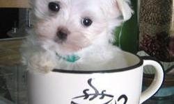 Adorable tiny teacup maltese pup, 12 weeks old, ACA registered, all shots and worming up to date, health guarantee. He will only be about 3-4lbs full grown and is nonshedding and hypoallergenic. I also have one female maltese that will be about 5lbs full
