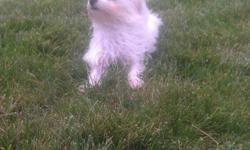 TeacupfemaleMaltese puppy for sale.Maya is 9 months old and up to date on all her shots.Will consider all offers.