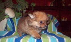 I have a very adorable teacup pom female for sale. She is 11 weeks old and weighs 1lb 4oz. She will come to you prespoiled utd on shots and wormings. She is a very sweet girl. She loves to be played with. Has been raised around our 4 kids. Shes just