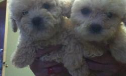 SUPER CUTE LITTLE TINY TOY POODLE PUPPIES! ONLY 2.5MOS OLD WILL BE 3LBS MAX! BEAUTIFULL COLORS MALES AND FEMALES A MUST SEE! THEY HAVE HAD THEIR 1ST SET OF VACCINATIONS AND WILL COME WITH RECORD*CALLOR TXT--WENDY