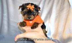 Available Breeds: Tiny Teacup & Toy Yorkie, Pomeranian, Maltese, Havanese, Cavalier, Maltipoo, Yorkipoo, Morkie, Shih-Tzu and more... Congratulations ? you have found the best place in the country to get your new teacup puppy. The Star Yorkie