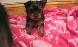 Super cute little teacup yorkie puppy, she is 9 weeks old, ACA registered, she has had all of her shots and worming up to date and she comes with a written health guarantee. I have just one girl available, she is a teacup and will only be about 4-5lbs