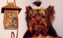 Nacho is a male teacup size yorkie. He was born in 11/07/2010. He is already done with vaccines and got dewormed upto date, CKC registered. He is going to grow up to 3 lbs when he gets full grown size. He is super tiny! He only weighs 2 lbs and he is