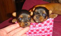 Yorkie Teacup Puppies CKC, Very tiny Females $700 born 8-21-11 Taking deposits at this time, Ready to go home 10-21-11 call 229-242-5699 email hlopshire@yahoo.com also check out web site www.klspuppies.com