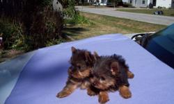 AKC 9 wk. old Teacup Yorkies ready to go to forever homes. Have had shots & wormed. The male puppy currently weighs 1lb. The female puppy currently weighs 1 1/8lb. Both parents are in site.