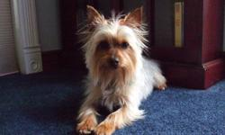 Extremely cute Teacup Purebred silky Yorkshire Terrier, female, AKC Certified Pedigree, spayed, weighs only 5 1/2 lbs, all shots up to date, ID chip, DOB 5/9/2009. Tinkerbell is very loving, healthy and playful. We need to downsize immediately. Cash only