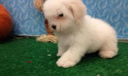 Beautiful teddy Bear puppies are non shed and hypoallergenic. Each comes with free vet exam, free vet care, puppy shots, free micro chipping, money back guarantee. Visit them at 8057 South Cicero Ave. Chicago, IL 60652. PH: 561-357-7000