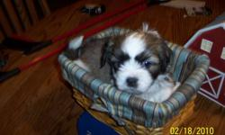 Teddy Bear puppies for sale. $300 will have first shots & deworming. Have both Mom & Dad