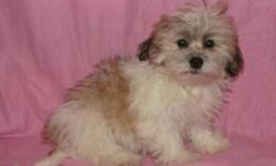 Both males and female available.  Born on 7/23/12.  Puppies are $375 each plus tax. Teddy Bears are a Bichon Frise and a Shih Tzu mix. These puppies are absolutely adorable and they have the personalities to match their looks. Each of them loves