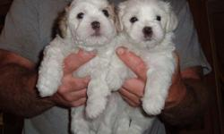 I have male and female Teddy Bear puppies for sale. Mom is a Shitzu and Dad is a Bichon Friese. They were born on July 25, 2011, so they are 7 weeks old and and ready to go. They are on feed and are vaccinated and dewormed. The are so adorable and very