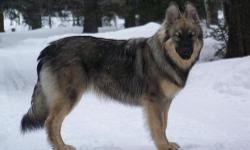 The America Alsatian was created originally in 1987 by Lois Denny in southern California. The breed was created to be the first large breed dog purely for companionship purposes. The American Alsatian was bred to resemble the now extinct Dire Wolf