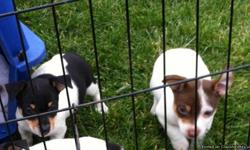 4 out of 6 left rare breed registered-affectionate,funny,intelligent. A must to own call -- or cell --. Near FLW