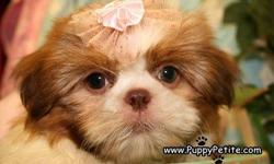 Our Shih Tzu puppies love to cuddle. Our puppies are 8-12weeksold and the price starts at $400. They are all registered andall vaccinationsare up to date. Ifyou wouldlike to see ourpuppies in
