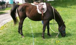 Fiona is a black, 23 year old, 15 hands, kind mare. She is English broke, sound, stands for the farrier, no vices, healthy, has a kind eye but only one! Looking to home this gentle,quiet mare who is a terrific horse for children and adults