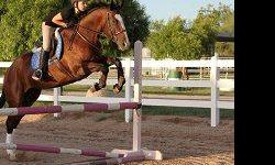 16.2 hands. Great Hunter/Jumper with show experience in both English and Western. Calm 8 yr old, well trained and easy to work with. Loads easily. Great for a beginning, intermediate or advanced rider. Ready for Tucson Fall Shows. Perfect for teen.