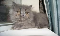 Two female-Baby Doll Faced kittens, one black with copper eyes, and the other is blue with copper eyes. The other kitten is a black male, with copper eyes and a short muzzle (flat-faced). All three Persian Kittens are now available for adoption. I