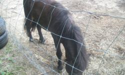 A three year old minature horse,brown in color great with children ready to ride perfect for young kids. All you need to ride is a saddle we had one but someone stole it. We have kids that use to ride it but they've gotten to big for it now their feet