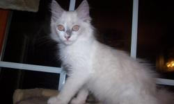 """Absolutely beautiful TICA Ragdoll Blue Mitted Male kitten ? born on May 28, 2011 is available to good home. Bleu is a very playful, loving and has a loud purr motor. He will lay aside of you, sit on your lap and """"talk"""" to you. His Mother is a TICA Seal"""