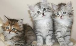 Ready for new homes. Home raised underfoot with dogs. Fantastic personalities. Lots of fun to own and love. Very socialized great companions. Our goal is to produce well socialized healthy playful beautiful offspring. Great cuddle buddies, vet checked, de