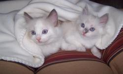 Absolutely beautiful TICA Ragdoll kitten ? born on May 28, 2011. Blue male Ragdoll available to good home. Mother is a TICA Seal bicolor Ragdoll and the Father is a TICA Flame Ragdoll. All my cats are very social and very spoiled. The parents are TICA